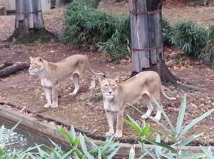 13 Posing Lions2